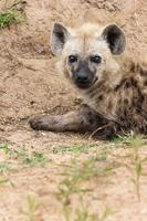 Hyaena photo