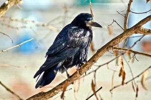 Black crow on branches of a tree.