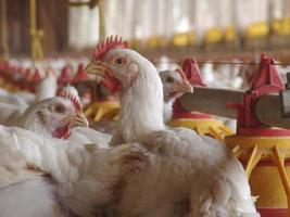 fazenda de galinhas