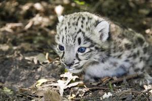 bebê leopardo da neve