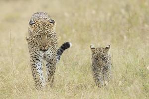 leopardo africano hembra caminando con su pequeño cachorro, tanzania foto
