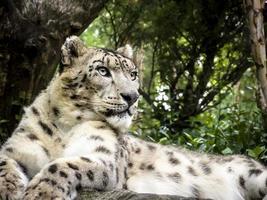 leopardo da neve deitado sobre uma rocha