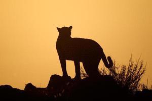 Leopard silhouette photo