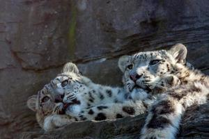 frères léopard des neiges