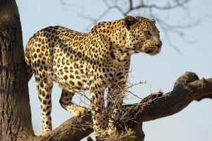 leopardo en un árbol en dusternbrook guest farm, namibia foto