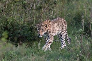 Leopard walking photo