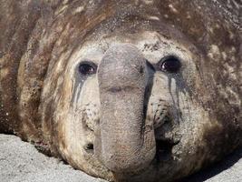 elefante marino foto