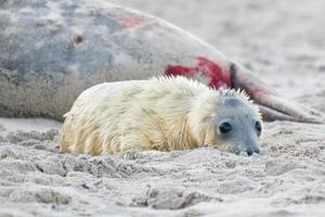 cría de foca gris (halichoerus grypus) relajante en la playa