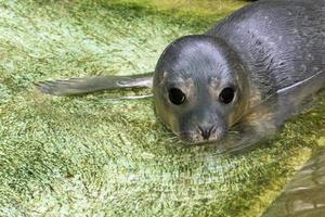 foca de puerto recién nacida (phoca vitulina) foto