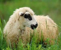 Flock sheep on a summer field