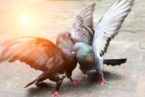 pair of pigeons fighting photo