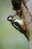 Great spotted woodpecker while feeding young