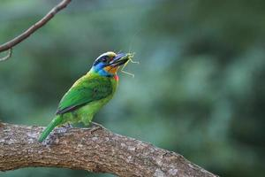 Muller's Barbet,a colorful bird photo