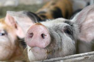 hocico de cerdo foto