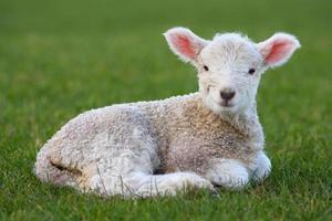 Lamb lying in field photo
