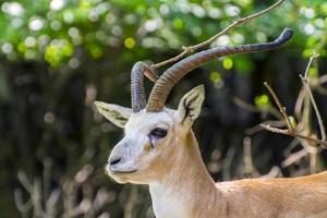 gacela goitered (gazella subgutturosa) foto
