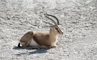 Dorcas Gazelle photo