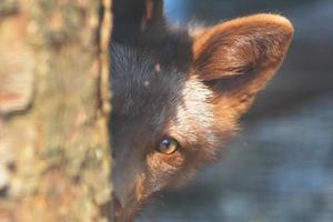 Fox Peek 2