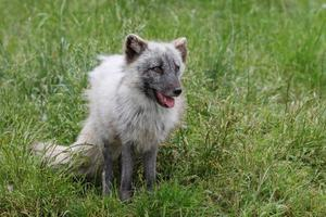 zorro ártico en la naturaleza foto