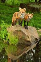Vertical-two young fox standing on a rock near water.