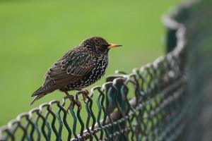 Starling sitting on a wire-mesh fence photo