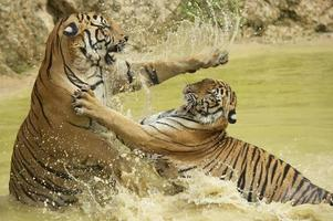 Adult Indochinese tigers fight in the water.