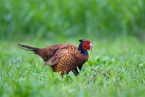 Wild pheasant eating worm photo