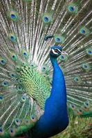 Indian peafowl with opened tail photo