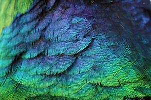 Pheasant photo