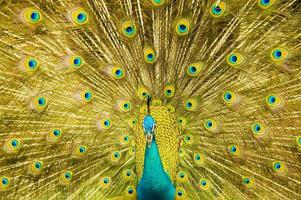 Male peacock's displayed tail fills image with gold feathers