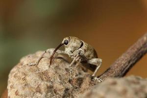 Boll Weevil close up on acorn, Colorado