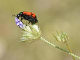 Beetle Mylabris on flower photo