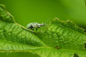 Weevil on leaf photo
