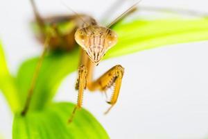 Jewel beetle, Metallic wood-boring beetle, Buprestid. photo