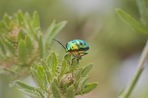 escarabajo verde metalizado foto