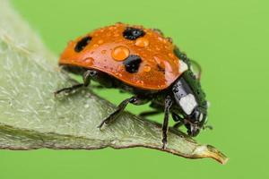 Dew Covered Ladybird