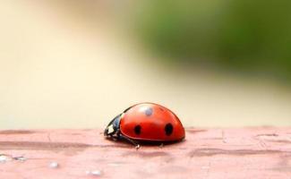 Beautiful ladybug closeup