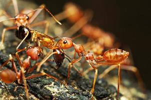 hormiga roja foto