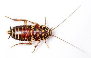 cucaracha arlequín foto