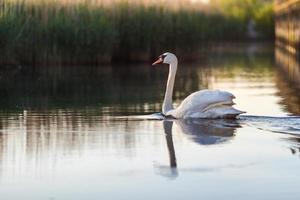 cisne en el agua foto