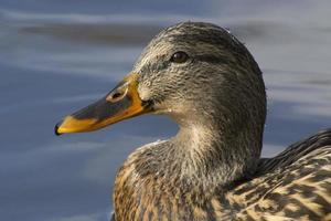 Portrait of Mallard Duck Hen on pond