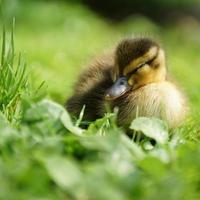 Mallard duckling sleeping on a meadow
