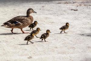 Duck and five ducklings