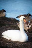 Swans resting on the shore in Helsinki, Finland photo