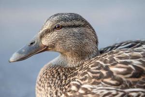 Female mallard close up