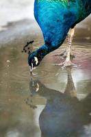 Blue peacock in a zoo in the Crimea closeup