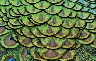 Colorful of Peacock feathers in luminous for design and texture