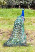 Rear view of a peacock displaying his fine feathers
