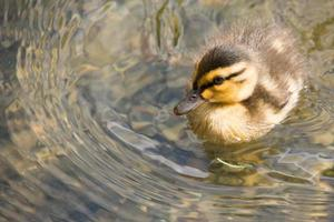 Baby duckling swimming in pond photo