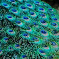 cola de pavo real foto